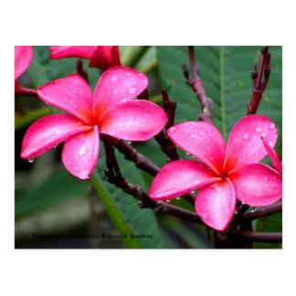 Exotic Flowers, Frangipani at Singapore Botanic... Postcard