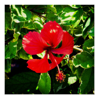 Exotic Red Hibiscus Perfect Poster