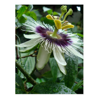 Exotic Tropical Passion Fruit Flower Postcard