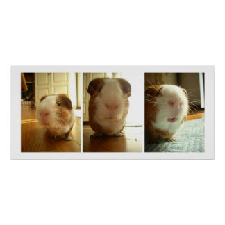 Expressions of a Guinea Pig Poster