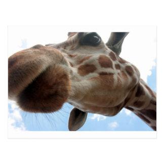 Extreme Giraffe Postcard