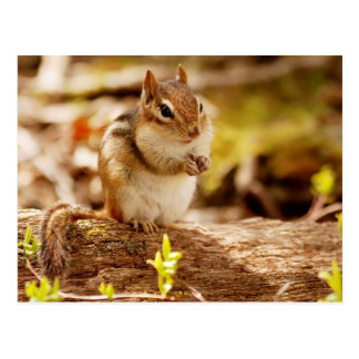 Extremely Cute Chipmunk Postcard