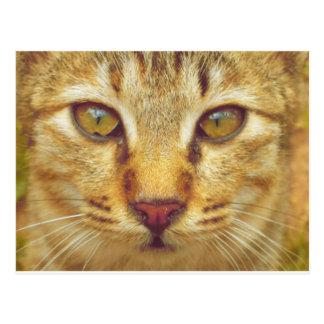 Eye of a Cat Tiger Postcard