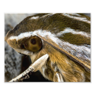 Eye of a Giant Moth Photo Art