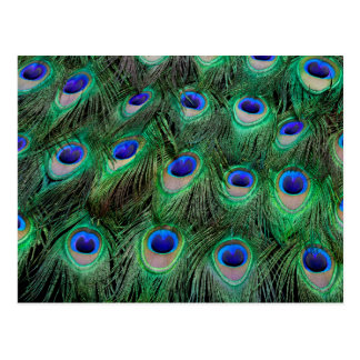 Eye-spots on Male Peacock feather Postcard