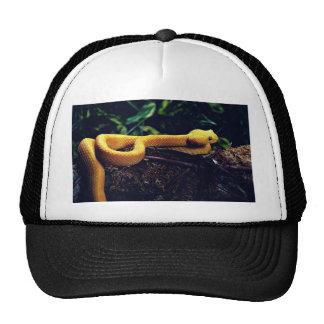 Eyelash viper, Mexico and California Hat