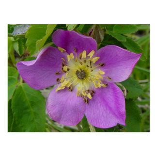 F0013 Prickly Rose/Alberta Wild Rose postcard
