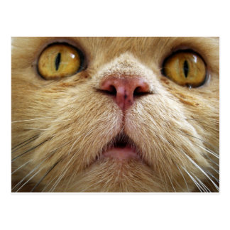 Face of persian cat postcard