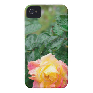 Fades wet autumn rose with blur Case-Mate iPhone 4 cases