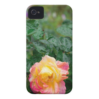 Fades wet rose with drops of  rain Case-Mate iPhone 4 cases