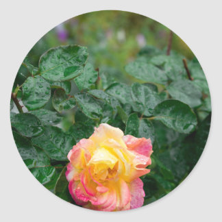 Fades wet rose with drops of  rain classic round sticker