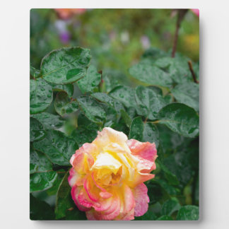 Fades wet rose with drops of  rain plaque
