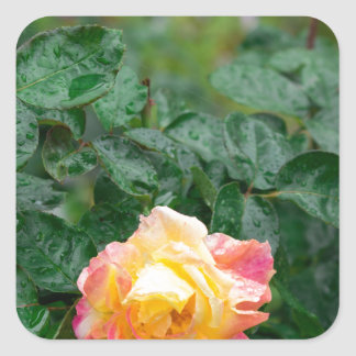 Fades wet rose with drops of  rain square sticker