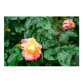 Fading autumn rose with droplets postcard