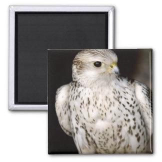 Falcon Magnet
