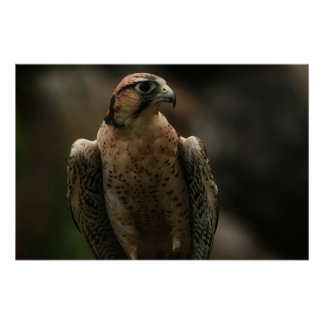 Falcon Posters
