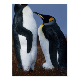 Falkland Islands. Two king penguins stand in Postcard
