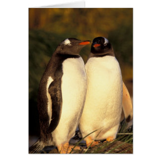 Falklands Islands. Gentoo Penguins.  (Pyroscelis Card