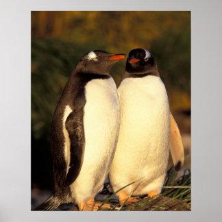 Falklands Islands. Gentoo Penguins.  (Pyroscelis Poster