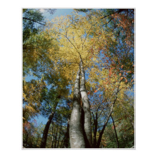 Fall Colors - Great Smoky Mountains - Trees Poster