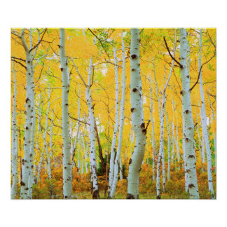 Fall colors of Aspen trees 1 Poster