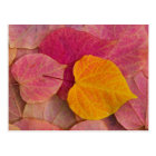 Fall colour on Forest Pansy Redbud fallen Postcard