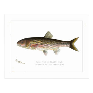Fall Fish or Silver Chub Postcard