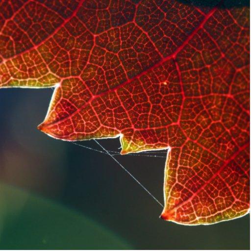 Fall Grape Leaf and Web Photo Cut Out