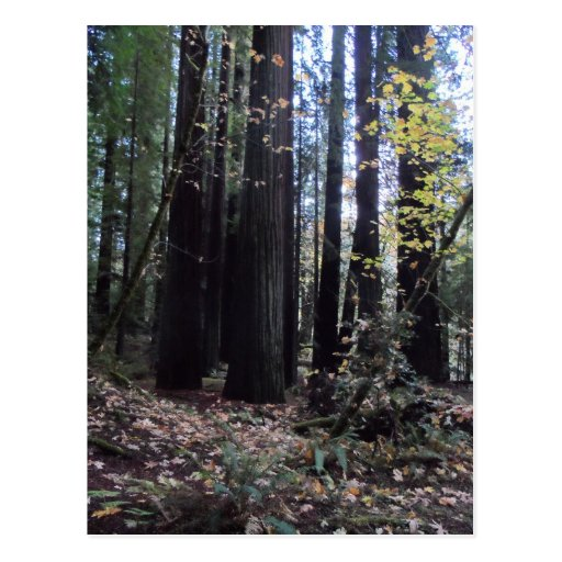 Fall in the Redwoods Post Cards