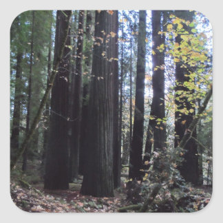 Fall in the Redwoods Square Sticker
