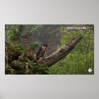 Fall - Peregrine Falcon Poster
