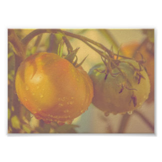 Fall Tomatoes Garden Nature Poster