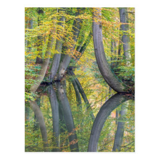 Fall tree trunks with reflection in forest water postcard