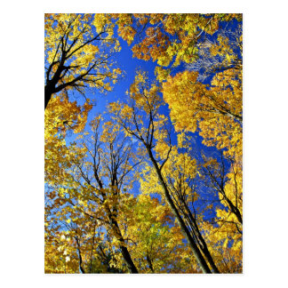 Fall yellow maple trees canopy postcard