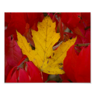 Fallen Autumn Leaf Amongst a Burning Bush Poster