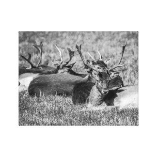 Fallow Deer BW Canvas Print