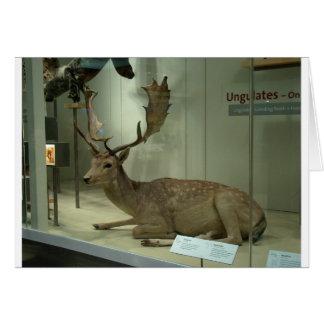 Fallow deer (Dama dama) Card