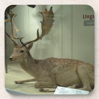 Fallow deer (Dama dama) Drink Coaster