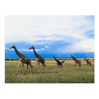Family of Giraffes Postcard