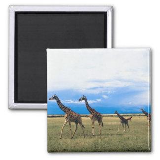Family of Giraffes Square Magnet
