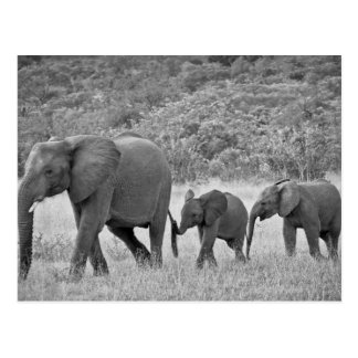Family of South African elephants Postcard