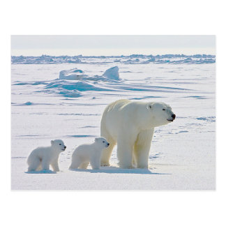Family Polar Bear Postcard