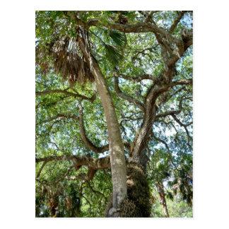 Famous Love Tree Saint Augustine Fl Postcard