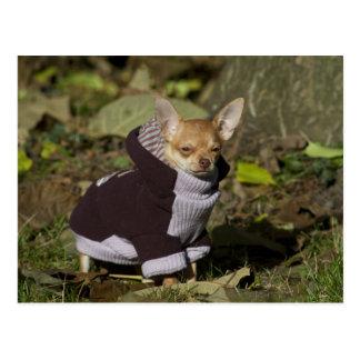 Fancy Chihuahua Postcard
