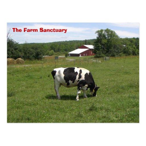 Farm Sanctuary Cow Post Card