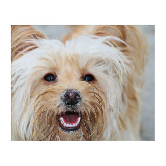Farris - Lucy - Mixed Breed Acrylic Print