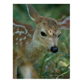 Fawn in Grass Postcard