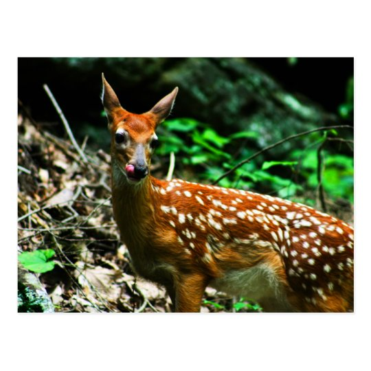 Fawn licking mouth postcard