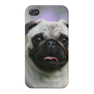 Fawn Pug on Alert iPhone 4/4S Cover