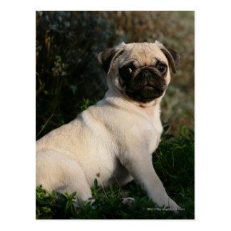 Fawn Pug Puppy Sitting Postcard